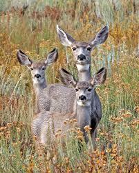 Image result for deer perking ear up
